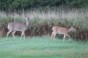 Scenic shot of Deer on the Golf Course